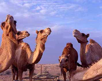 Dubai camel riding tour ride camels in the arabian sands pick up time morning 0730am 800 am altavistaventures Choice Image